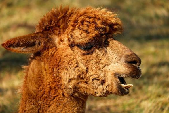 alpaca-2214650_960_720